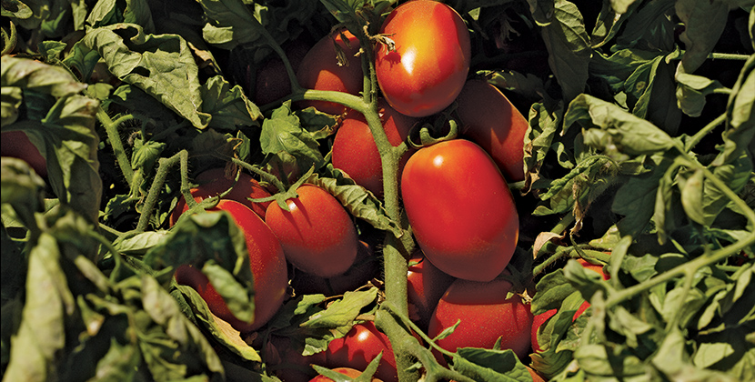 Heinz Seeds Help Farmers Produce Premium Tomatoes